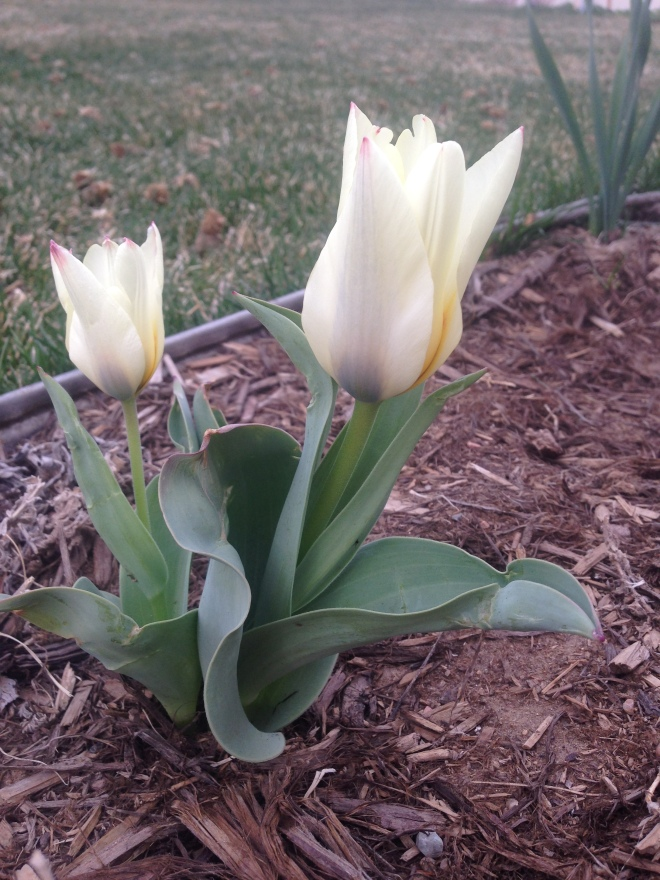 First tulips!