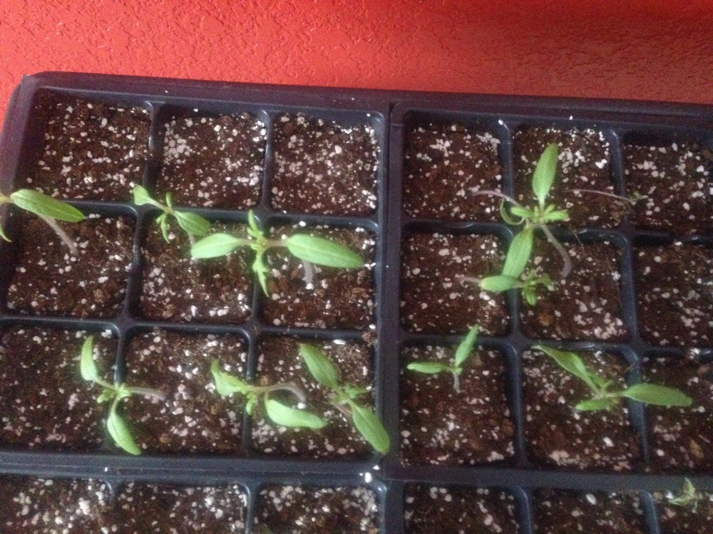 Tomatoes asking to be transplanted