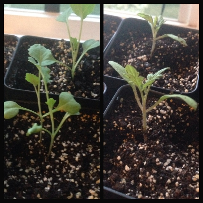 Broccoli (left) and Tomatoes (right) looking good