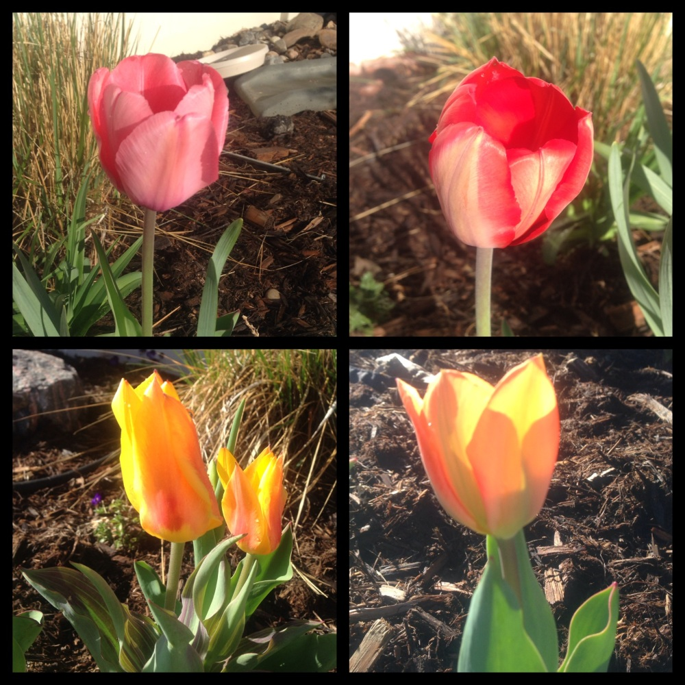 My first Tulips