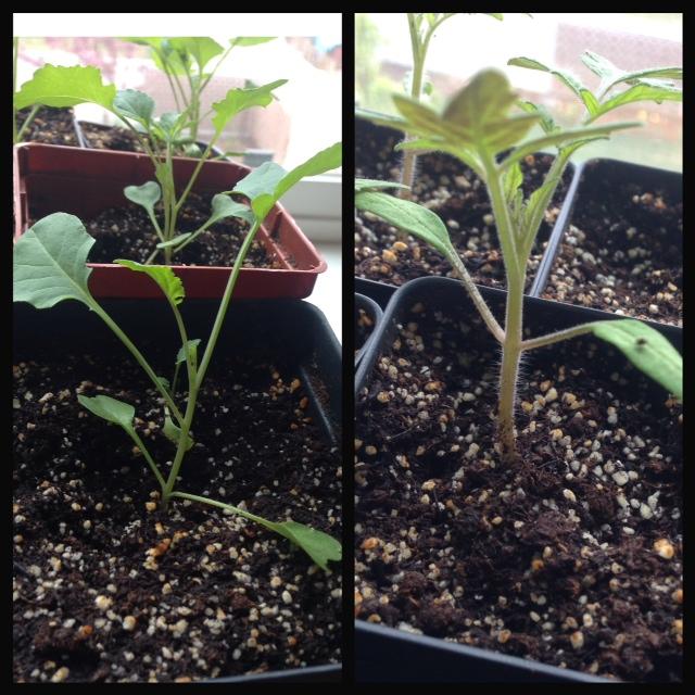 Broccoli (left) Tomato (right)