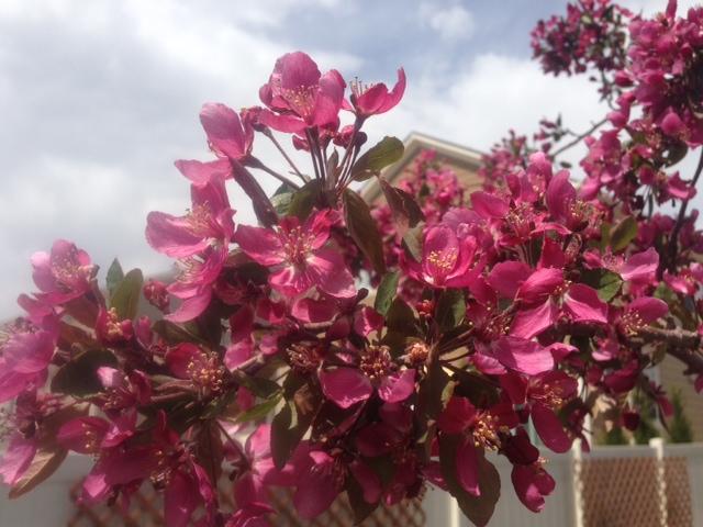 My Crab Apple Tree bloomed this week!