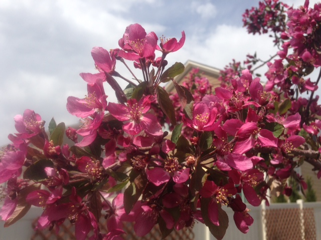 My Crab Apple Tree bloomed this week!