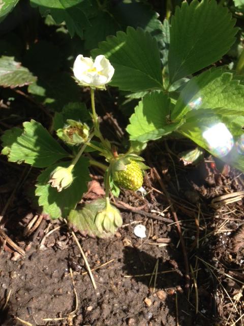 First Strawberry!