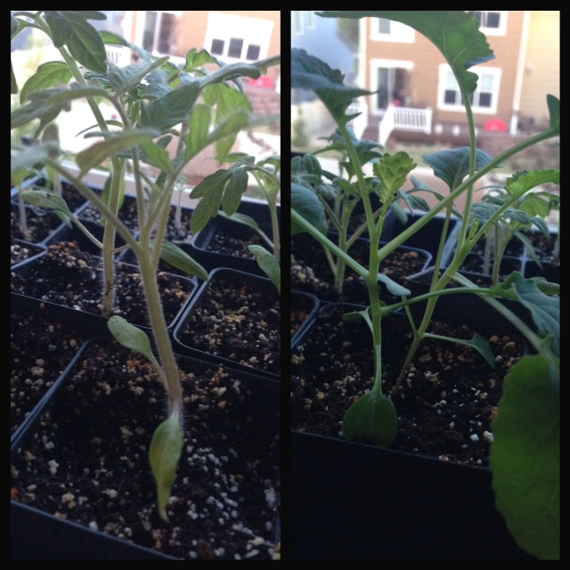 Tomato (left), Broccoli (right)