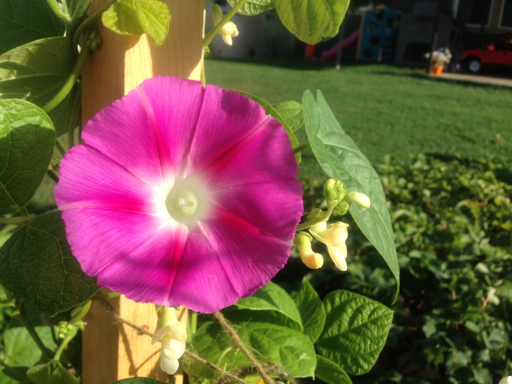 Morning Glory in the midst of my beans