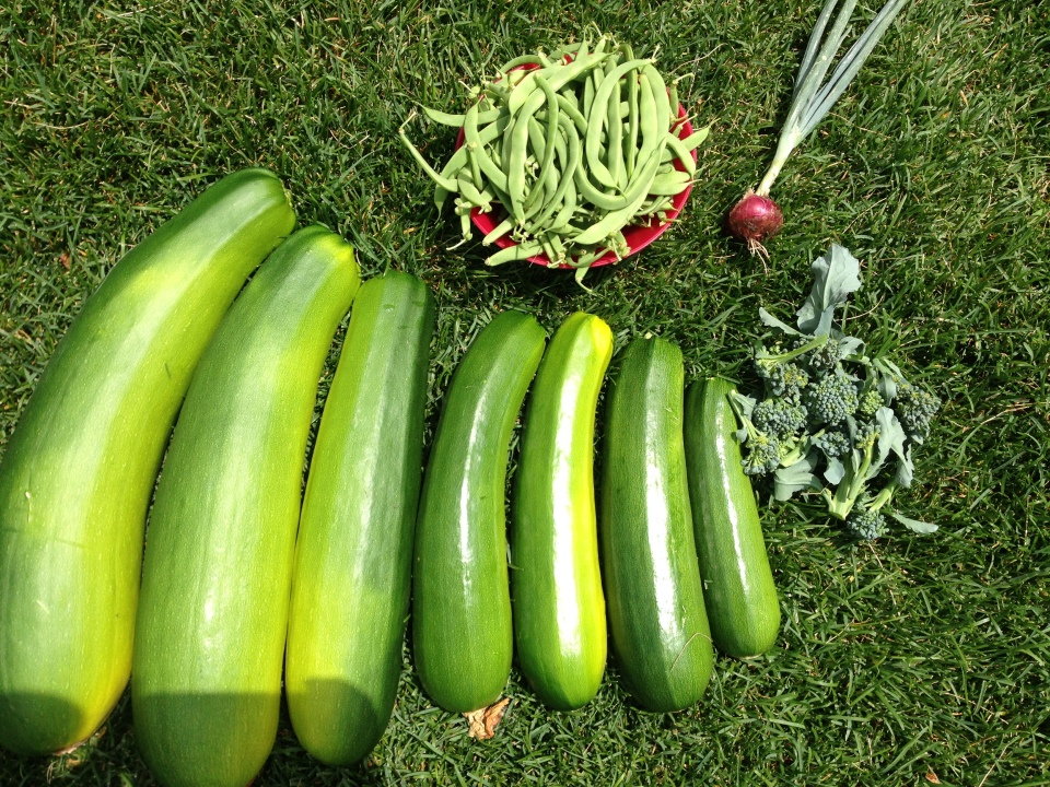 The zucchini (with the beans and broccoli we picked in one day)