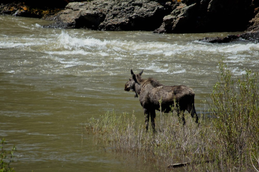 As we left our cabin we saw a moose down near the river