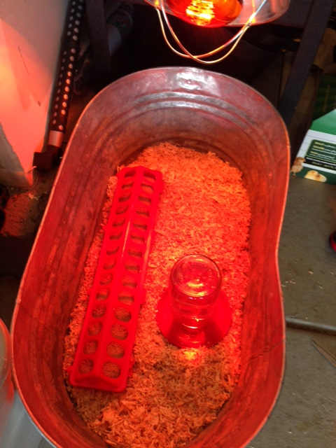"""The """"Brooder"""", red tinged from the read heat lamp"""