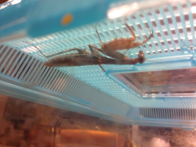 Meet Fred the Praying Mantis (not to be confused with the other Freds)