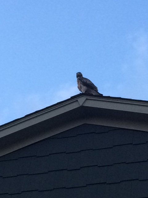 The hawk on top of our house